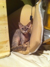 Tilba the Devon Rex